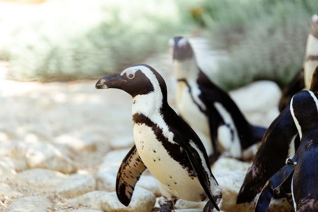 Tropische pinguïns op het strand bij het zwembad, pinguïns in de dierentuin, pinguïns op een zomerse dag