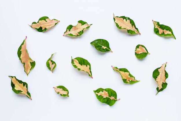 Tropische plant, karikatuur plant laat op wit