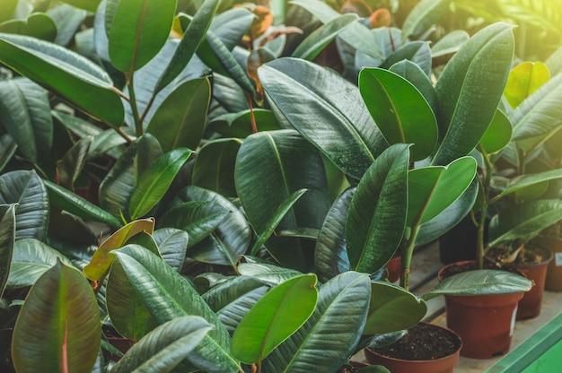 Tropische planten ficus. veel groene planten. tuinieren in serre. botanische tuin