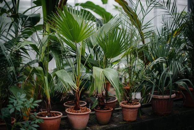 Tropische planten in potten. broeikas, zaailingen. tropen