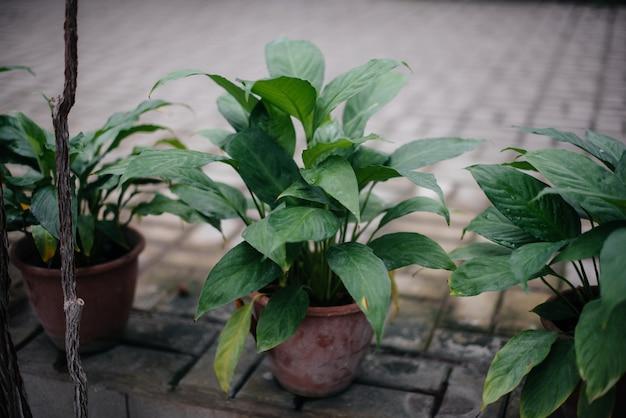 Tropische planten in potten. broeikas, zaailingen. tropen.