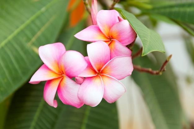Tropische roze frangipanibloemen op groene bladeren. sluit omhoog plumeriaboom.