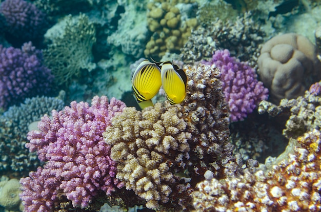 Tropische vissen en koralen in de rode zee, egypte.
