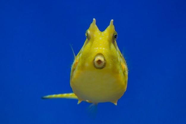 Tropische vissen - lactoria cornuta. gele tropische vissen in aquarium op blauwe achtergrond