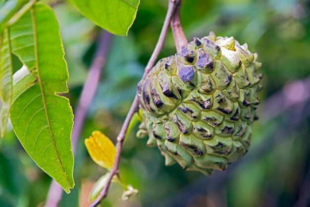 Tropische vrucht van het geslacht annona