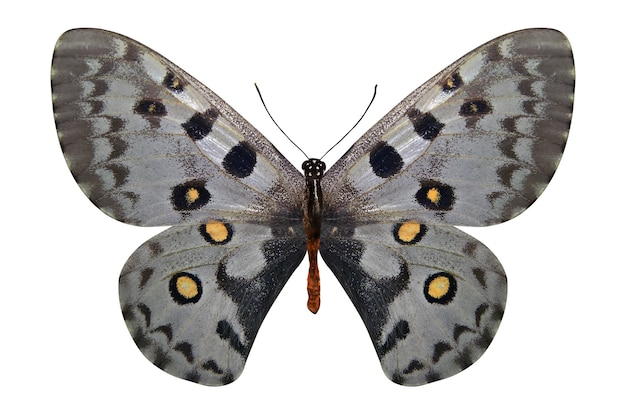 Tropische witte vlinder geïsoleerd op een witte achtergrond