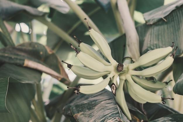 Tros bananen aan een boom