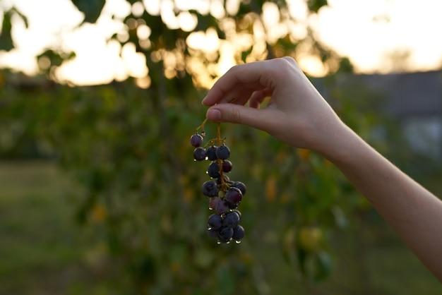 Tros druiven natuur fruit groene bladeren