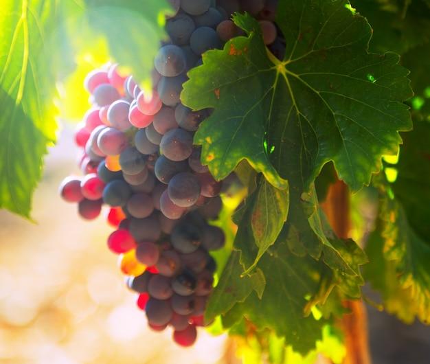 Tros druiven op wijngaarden plant in zonnige dag