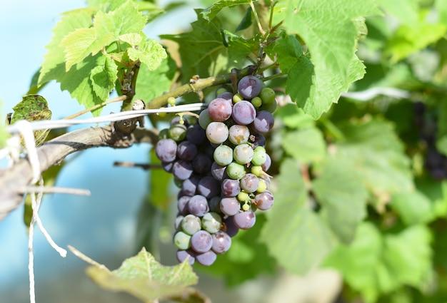 Tros onrijpe druiven die aan een tak hangen