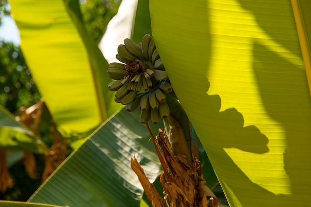Trossen bananen aan een boom, wilde bananen aan een palmboom.