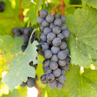Trossen rode wijndruiven