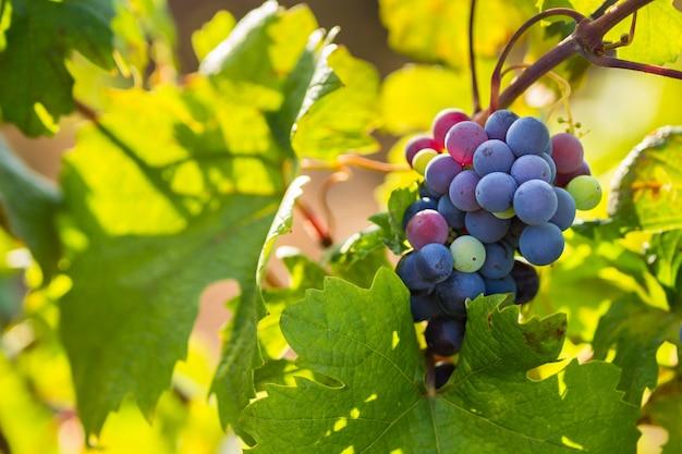 Trossen van de primitivo di manduria-druif, organische wijngaard in salento, natuurlijke omstandigheden, puglia, italië