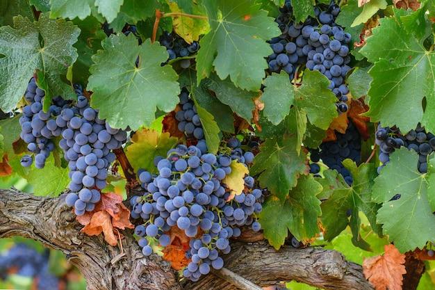 Trossen van rijpe druiven op de wijngaard