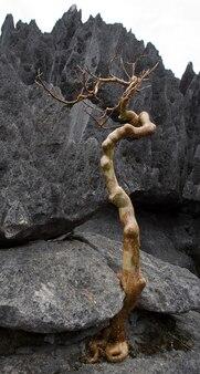 Tsingy de bemaraha. typisch landschap met boom. madagascar.