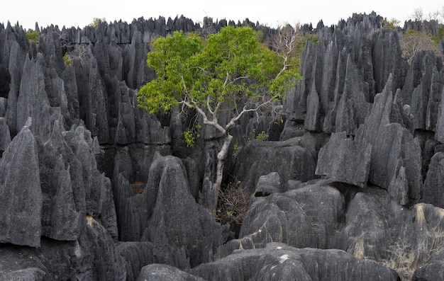 Tsingy de bemaraha. typisch landschap met boom. madagascar. Premium Foto