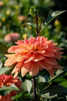 Tuin dahlia bloem bloeit prachtig helder op een zonnige herfstdag close-up