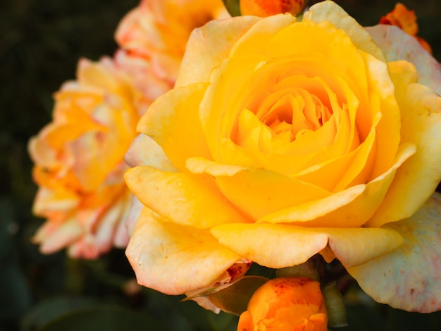Tuin gele roos close-up voor achtergrond