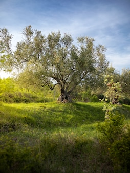 Tuin met een enorme boom in istrië, kroatië
