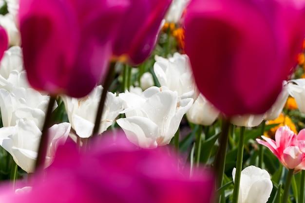 Tuin met tulpen in het zomerseizoen, een groot aantal tulpenbloemen voor tuindecoratie