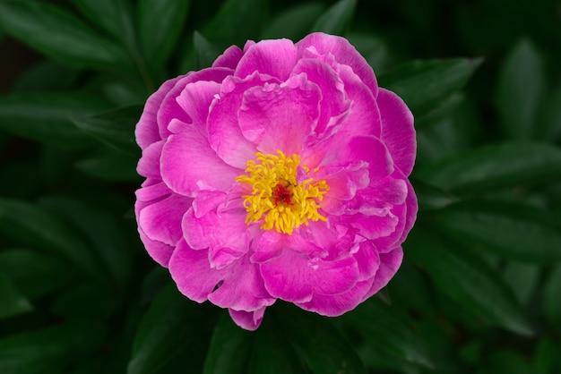 Tuin roze knop op een achtergrond van donkergroen gebladerte