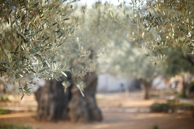 Tuin van gethsemane. beroemde historische plaats