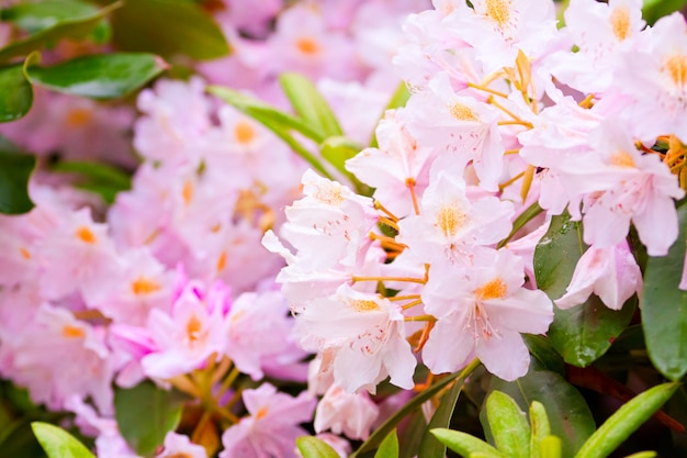 Tuin van rododendrons bloeien