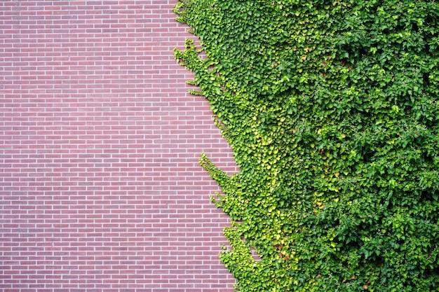 Tuin wilde druiven met herfstbladeren op rode bakstenen muur. wilde druif op de muur van een oud gebouw.