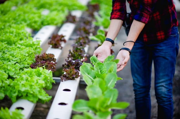 Tuinders salade mannen kijken naar de salade in zijn tuin concept van het maken van gezonde groenteplekken