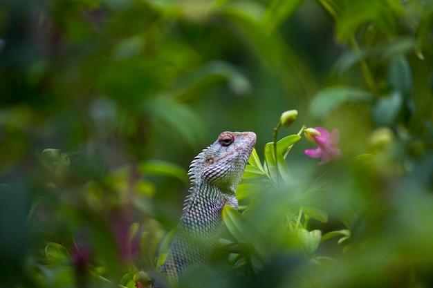 Tuinhagedis of ook bekend als oriental plant lizard die rustig op de tak van een plant rust