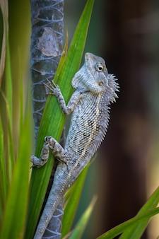 Tuinhagedis of ook bekend als oriental plant lizard op de tak van een plant