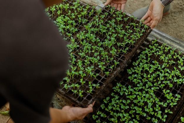 Tuinieren concept een boer die de groene zaailingen ruimt voordat ze uit potten worden verwijderd om te groeien in het voorbereide grondperceel.