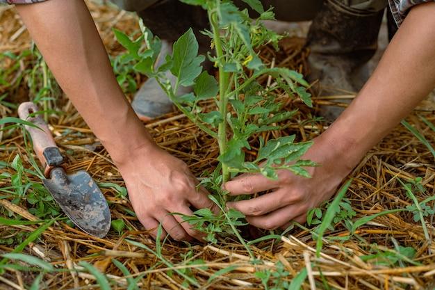 Tuinieren concept een jonge mannelijke tuinman die voor een groente zorgt door de grond rond de plant te scheppen.
