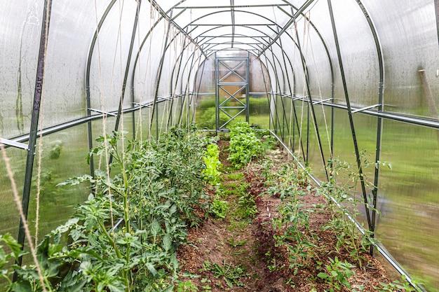 Tuinieren en landbouw concept. biologische tomaten groeien in kas. kasproducten. plantaardige voedselproductie.