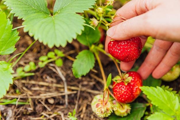 Tuinieren en landbouw concept. met de hand oogsten van rode verse rijpe biologische aardbeien in de tuin