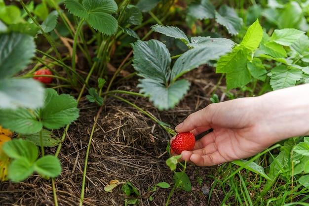 Tuinieren en landbouw concept. vrouwelijke bedrijfsmedewerker die rode verse rijpe organische aardbei in tuin met de hand oogsten. veganistisch vegetarisch voedsel van eigen bodem. vrouw aardbeien plukken in veld.