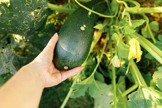 Tuinieren en landbouw concept. vrouwelijke landarbeider hand oogsten groene verse rijpe biologische courgette in de tuin.