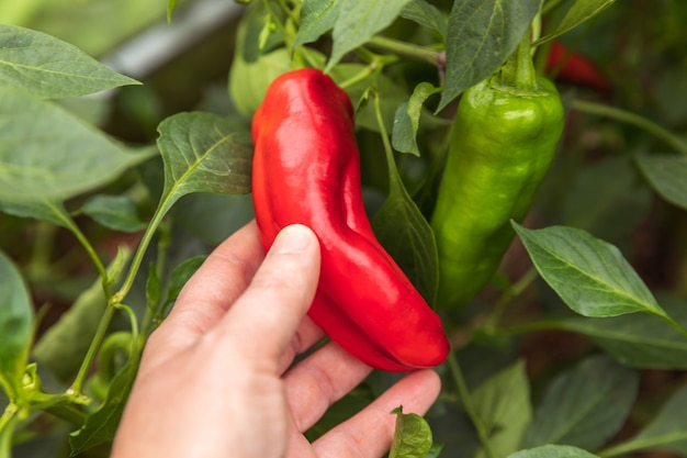 Tuinieren en landbouw concept vrouwelijke landarbeider hand oogsten rode verse rijpe biologische paprika...