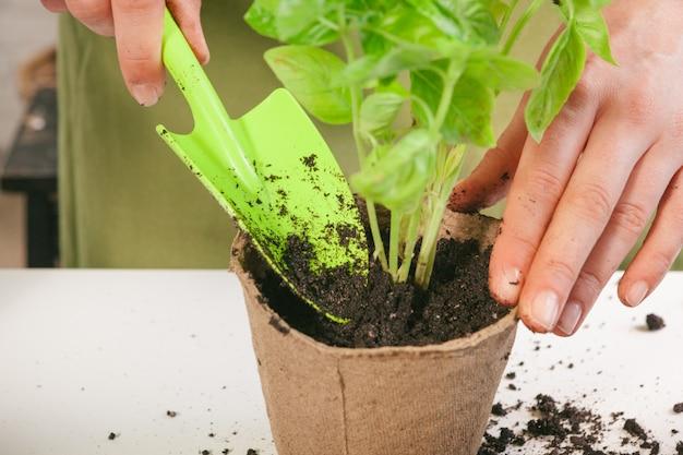 Tuinieren, planten thuis. vrouw verhuizen spruit kamerplant