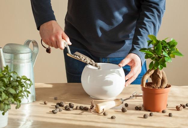 Tuinieren, thuis planten. man verhuizen ficus kamerplant