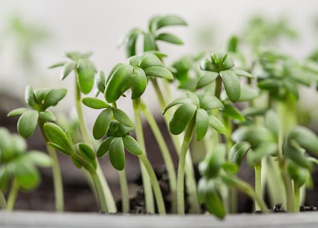 Tuinkers, verse spruiten en jonge bladeren.