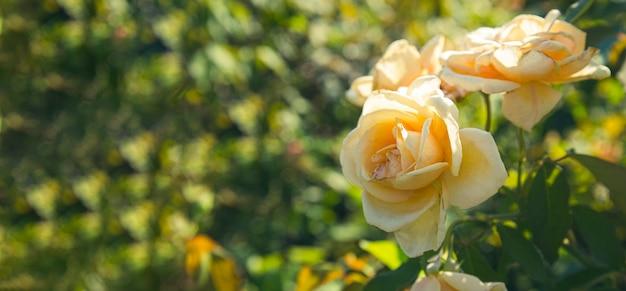 Tuinlichtoranje rozenknoppen in de tuinclose-upbanner voor website met vrije ruimte voor tekst