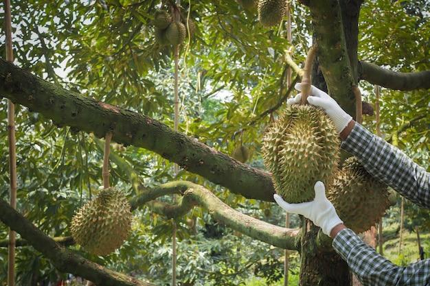 Tuinman die durian-fruit, koning van fruit in thailand oogsten.
