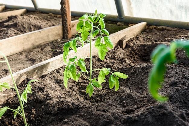 Tuinman handen planten een zaailing van tomaten in de bodem.