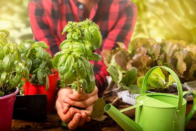 Tuinman in de kwekerij transplanteert het concept van kleine basilicumplanten van duurzaam leven en zelfproductie