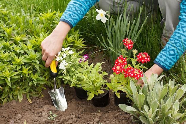 Tuinman plant rode verbena in de grond in een tuinbed met behulp van een troffel.