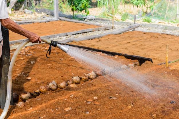Tuinmannen geven water in kokosnoot parfumplantages voor rassen