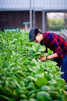 Tuinmannen salade mannen kijken naar de salade in zijn tuin concept van het maken van gezonde moestuinen