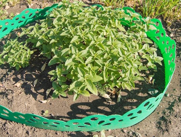 Tuinmunt of melissa groeit in een tuinbed met een groen plastic hek, bovenaanzicht, zonnige zomerdag