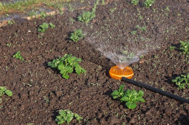 Tuinsproeier op een zonnige zomerdag terwijl je een aardappelbed water geeft.
